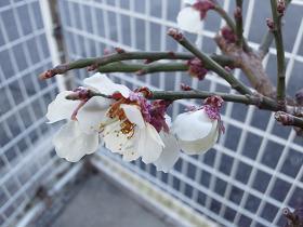 やっと咲いた梅の花