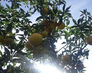 柚子の収穫は癒し効果抜群!