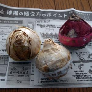 ヒヤシンスの球根を買いました