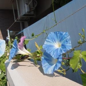 ベランダガーデニング 今日も朝顔咲いてます