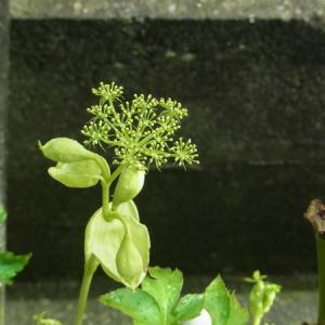 アシタバの花