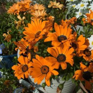 デモルホセカ(オレンジ色)