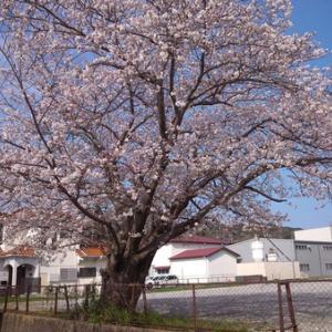 旧河津南中学グランド桜