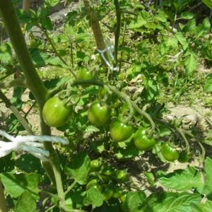 ミニトマトが実り始めました!