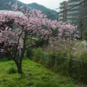 河津桜2019児童公園開花情報
