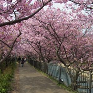2019河津桜のトンネル