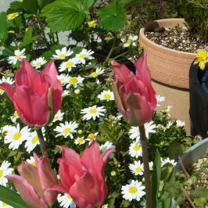 チューリップが咲きました!