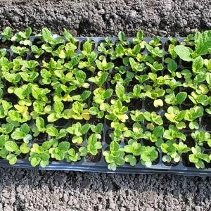 菜の花88号 3月18日に植えた