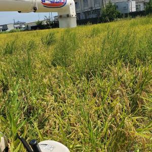 稲刈りは8月18日から開始