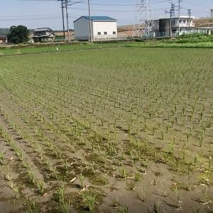 水持ちの悪い田んぼで使う中期除草剤