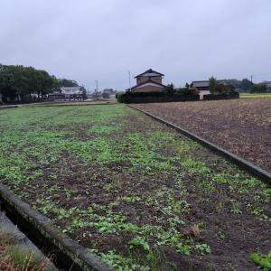 ヘアリーベッチと菜の花の緑肥 発芽した
