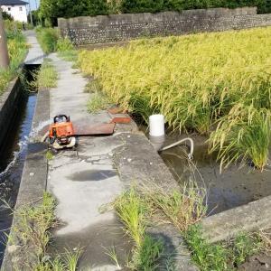 8月17日から稲刈り開始