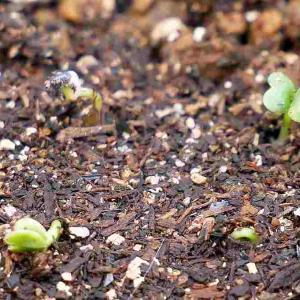 コマツナの鉢栽培(1)種まき~出芽