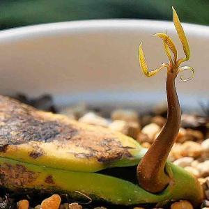 マンゴーの鉢植え2 出芽