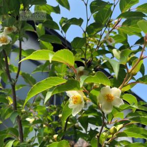 春夏の樹木観察♪自宅で木の実のなる木を育てる・・・7年目のヒメシャラ