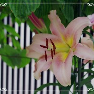 [園芸]今年の百合は終わり