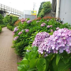 シリーズ横浜の緑道_その25・・・滝ノ川あじさいロード。