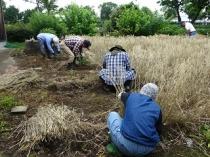 第8期・第10回 3限目 「麦刈り・ストロー作り」