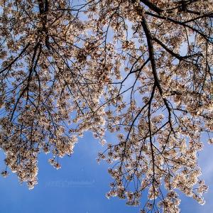 Sakura memories #04