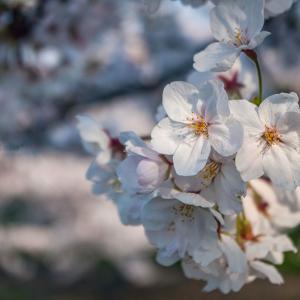 Sakura memories #05