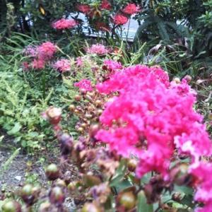サルスベリと彼岸花が同時に見られる。発見だな