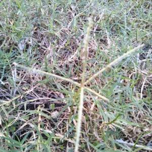 芝生の穂が出てきた。そろそろ休眠準備期間。だから、穂は刈込