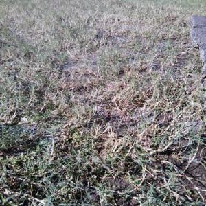 台風のあとの芝生は、キレイになった
