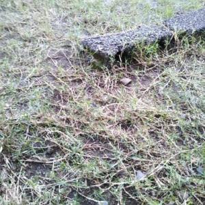 芝生の合間にあるチドメグサを取る
