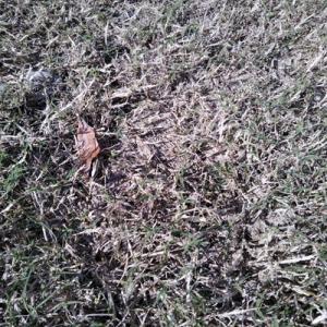 芝が枯れてきて、草取りがはかどる