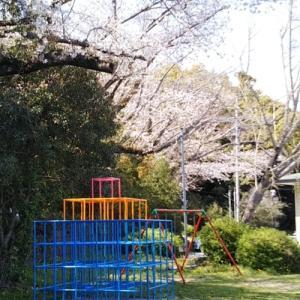 近所の公園で花見。ソメイヨシノ