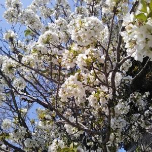 今日の桜は、葉と花が同時に出るやつ