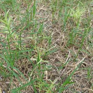 あちこちに、薄い緑色の芝が出た