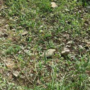 草を乗り越えて、芝が伸びる