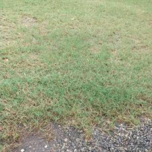芝の色が少し薄くなってきた。とらの髪の毛は前側が白いけど、後ろ側は黒い