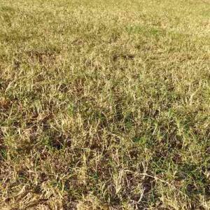 芝はだんだん枯れてきて、草取りは続く
