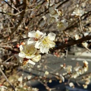 早咲のサクラがちらほら。梅はあちこち