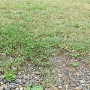 芝の緑が綺麗で幸せなのだ。草取り少しと生け垣の剪定した