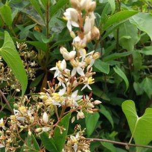 ナンテンの花と実の小さいやつ。草取りと剪定