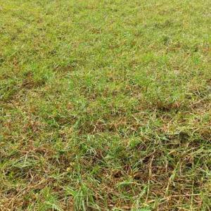 芝刈りから雨が降り、青々として綺麗だなー