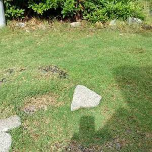 雨の露が芝について光る。綺麗。またグレーチングの草取りした