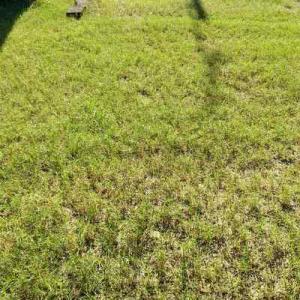 日本芝と洋芝がつながった。庭中芝だらけ草だらけ