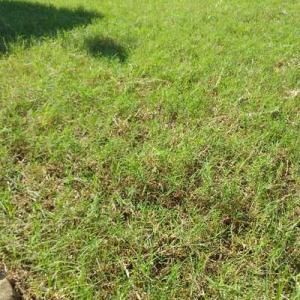 朝から日差し強い。芝刈り草取り、枝剪定