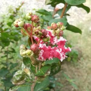 サルスベリの花が咲いた。芝に水やりたっぷり少し草取り