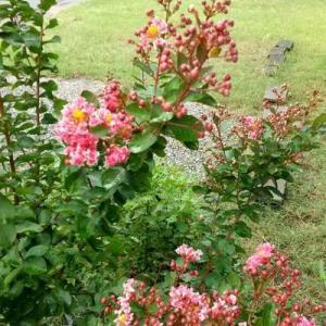 雨が降って芝はドサドサ、草はどんどん。とらのすけはシャカシャカ