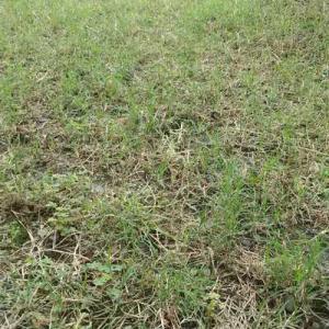 日曜日なのに、6時前の起きて芝刈り草取りした