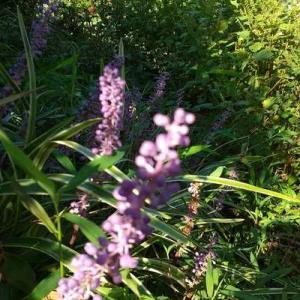 紫蘇の森かき分けて、草取りした。日陰は涼しい