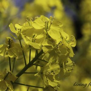 ★ 春は黄色のアブラナ! ★