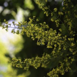 ★ モクゲンジの花は 金色の雨のごとくに散る! ★