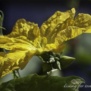 ★ ヘチマの花から元気を! ★