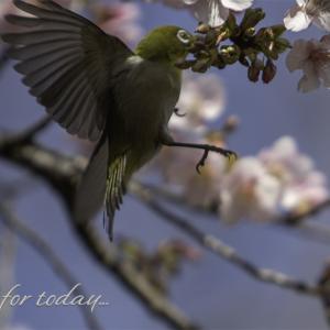 ★ メジロ さんも春本番が待ち遠しい! ★